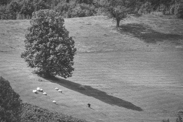 Ovce na livadi