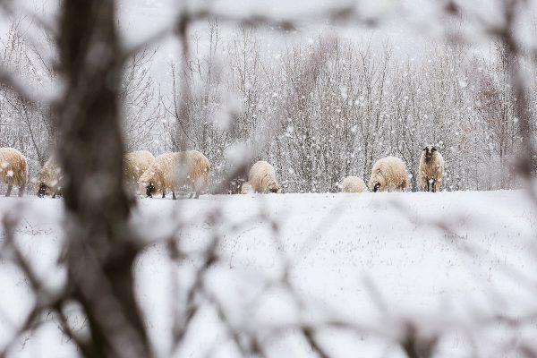 Ovce na snijegu